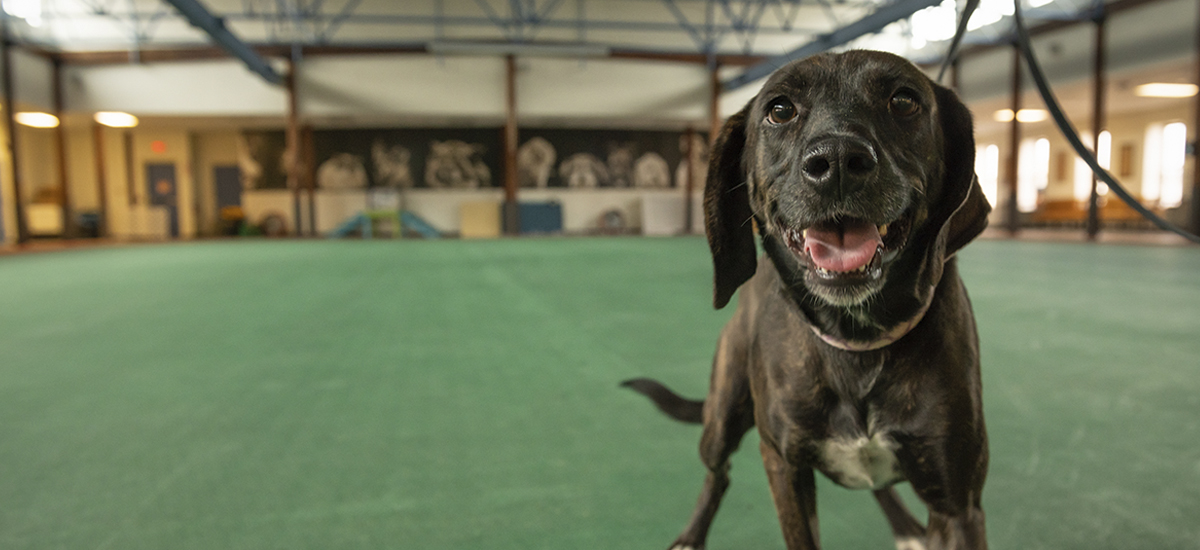 Bergenia, a smiling black dog, standing in the Richmond SPCA