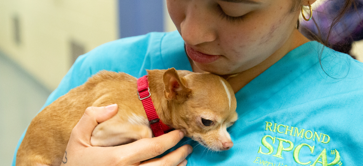 Duchess, a tiny chihuahua, is embraced by an animal care technician at the Richmond SPCA