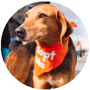 """hound wearing orange """"Adopt Me"""" Bandana"""