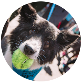 """black and white dog holding tennis ball and wearing blue bandana reading """"I was adopted from the Richmond SPCA"""""""