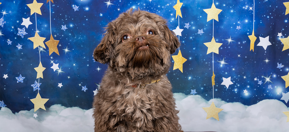 Small brown dog named Tim Tom on a blue background surrounded by stars