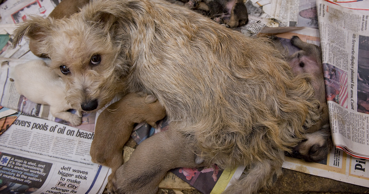 A scared mother dog looks up from her dirty cage where she nurses her puppies in a puppy mill operation.