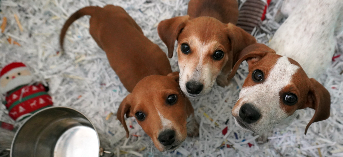 trio of hound puppies looking upward