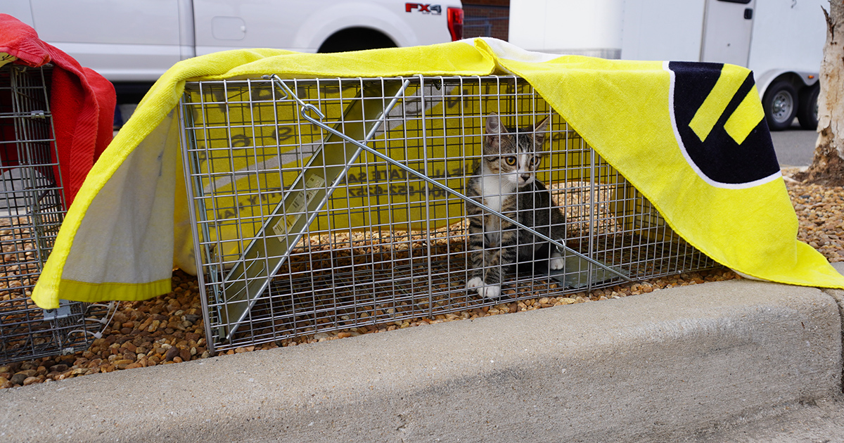 TNR: community cat in trap covered by yellow towel