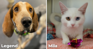 a hound dog, Legend, and a white cat, Mila