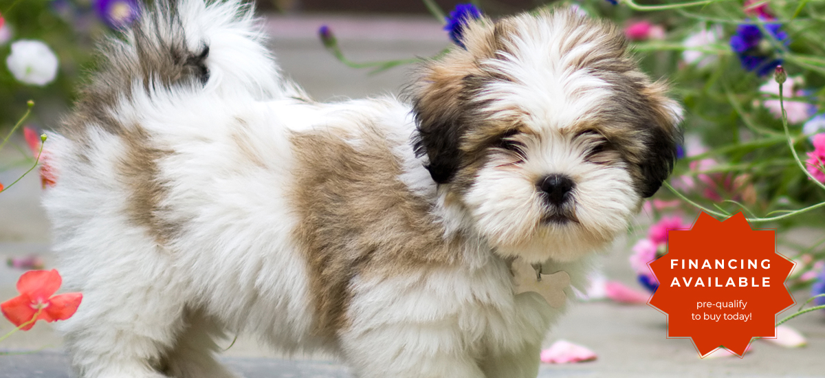 """lhaso apso puppy surrounded by flowers, overlay """"financing available"""""""