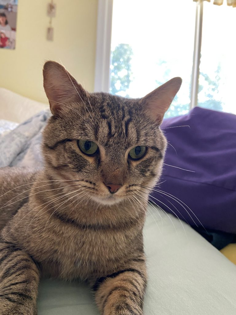 Closeup of cat showing Jackson's facial expression. His ears are perked forward and his eyes are soft.