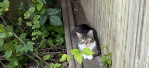 ear-tipped cat rests next to a fence in an ivy-covered corner